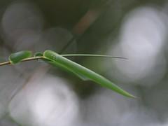 Bamboo (bamboosage) Tags: rikenon p macro 105 28 kiron lester a dine