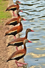 2013-04-24 166 (MoniLizar) Tags: en duck nikon pato fila patos whistling d5100 silvadores