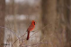 Red Light District (flipkeat) Tags: red male bird nature beautiful birds outdoors different cardinal wildlife northern mississauga redbird dslra500