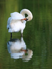 Moment d'intimité **--- ---° (Titole) Tags: reflection green swan toilette vert cleaning reflet bathing cygne gamewinner friendlychallenges thechallengefactory titole nicolefaton