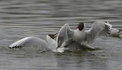 f_hettemake_gull_Chroicocephalus ridibundus_4915 (Ljostad) Tags: bird nature oslo norge gull natur fugl ornithology hettemke stensjvannet chroicocephalusridibundus