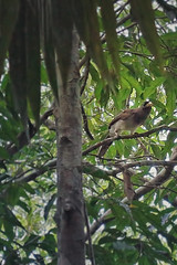 Brown Jay (moonbird) Tags: bird birds belize caribbean garifuna centralamerica tropicalbirds cockscombbasinwildlifesanctuary stanncreek hopkinsbelize