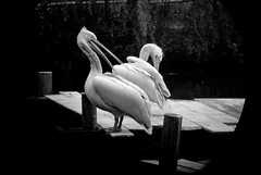 The last of the Pelicans (Photoliver) Tags: portrait bw pelicans noiretblanc plican photoliver leicax1 leicamonovid