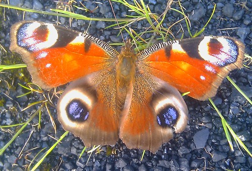 Peacock Butterfly at Hunterston