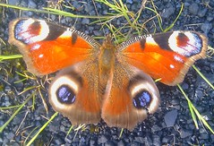 Peacock Butterfly at Hunterston (Gilli8888) Tags: colour butterfly scotland wings insects animalplanet peacockbutterfly hunterston