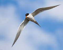Forster's Tern (Sterna forsteri): In a Patch of Blue (Johnrw21) Tags: nature birds oregon photography wildlife flight lakes american tern avian seabirds refuge forsters