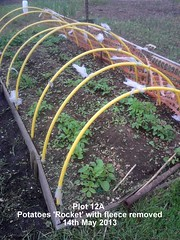 Plot 12A - Potatoes 'Rocket' with fleece removed 14-05-2013 (Davy1000) Tags: frame sunflower carrots seedlings runnerbeans daffodils parsnips leeks crocuses broadbeans pintobeans littlegem beetrootchioggia potatoesrocket