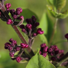 Purple Lilac Detail (marylea) Tags: flowers gardens spring purple buds lilacs may5 2013