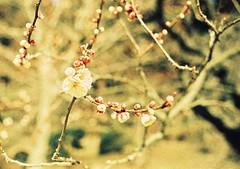 000028 (hashi_03) Tags: flower film japan spring asia natur blumen crossprocessing spaziergänge ibaraki frühling 2013