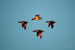 2014 Nov 10 Serpentine Fen 5480 (digitalmarbles) Tags: canada nature birds bc britishcolumbia wildlife ducks mallard waterfowl birder anasplatyrhynchos lowermainland surreybc birdphoto