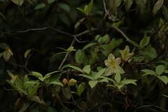 Rhododendron triflorum J. D. Hooker (6) (siddarth.machado) Tags: east rhododendron lachen northsikkim himalayanflora