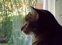 The Secret Window (ChicaD58) Tags: frodo kitty cat feline thesecretwindow lookingoutthewindow downstairs thebasement summer dscf4585ab