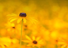 Stand out (shannon4462) Tags: standout blackeyedsusan flowers bokeh yellow niksoftware google nikon d7000 50mm