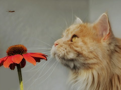 Hey, come back ! (FocusPocus Photography) Tags: linus katze kater cat chat gato tier animal haustier pet jger hunter echinacea cone flower insekt insect