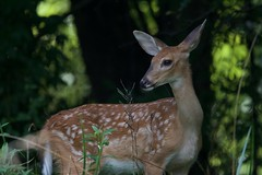 At the Edge of the Woods (Plummerhill) Tags: summer woods fawn deer indiana
