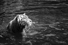 The Water Hunter (BoXed_FisH) Tags: animal asia sal70300g sel70300g singapore singaporezoologicalgardens sony sonya7 tele zoo sg black white blackandwhite grey bw mono monotone monochrome mammal cat tiger stripes water ripple portrait sonyalpha sonysal70300g