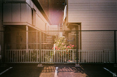 Afternoon/Vertigo/Rose (yasu19_67) Tags: afternoon backlight flower rose film filmism filmphotography analog expiredfilm alley street empty nikonl35ad2 35mm fujifilm fujicolor xtra400 hyogo japan photooftheday atmosphere