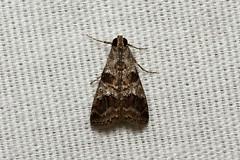 Lepidoptera (Moth sp.) - Costa Rica (Nick Dean1) Tags: lepidoptera animalia arthropoda arthropod hexapoda hexapod insect insecta costarica arenallodge lakearenal guanacaste canon7d canon macro