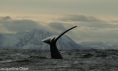 humpback (jacqy85) Tags: humpbackwhales bultrug whales dolphins cetacean wildlife norway noorwegen andenes