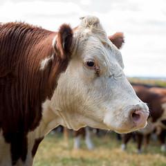 Hereford Cow - #14 (Silver2Silicon) Tags: zeiss zeissmilvus milvust1485ze milvus 85 sony sonya7rii hereford cow shallowdof