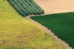 Viti, Olivi, Girasoli, Paglia (luporosso) Tags: natura nature naturaleza naturalmente nikond300s nikon marche civitanovamarche italia italy scorcio scorci country countryside campagna geometrie geometry rurale girasoli sunflowers olivi vigna vineyard