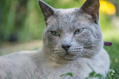 pausing for half-a-moment (andy_8357) Tags: bokeh blue eyes summer green grass lounging young youngster male sony ilce6000 a6000 6000 alpha ilcenex mirrorless sigma 60mm 28 dn art feline gray relax relaxed portrait beautiful sun shade emount