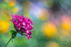 Colors (brady tuckett) Tags: meyeroptikgrlitztrioplan100mmf28 meyeroptikgrlitztrioplan meyeroptikgrlitz meyer grlitz 100mm bradytuckett brady tuckett trioplan bokeh nature macro leaves light plant leaf flora color colors flower flowers m42 macros photosynthesis m42lenses m42mount blue green pink yellow