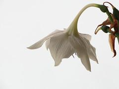 thetelephoneisringing (renedepaula) Tags: white lilly flower petal urban city sampa saopaulo brasil brazil