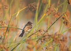 Black Phoebe at sunrise (sandranne2) Tags: bird biziaux black phoebe wildlife wild nature sandrine scherson sanctuary