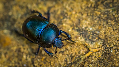 Beetle (hansde) Tags: betle nature veluwe macro animal insect