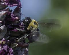 Bee_SAF7742 (sara97) Tags: bee copyright2016saraannefinke flyinginsect insect missouri nature outdoors photobysaraannefinke pollinator saintlouis towergrovepark