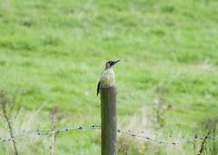Green Woodpecker (kevinwolves) Tags: greenwoodpecker woodpecker bird kevinwolves baggridgecountrypark baggeridge nature wildlife nikon nikond300 nikkor55200mm
