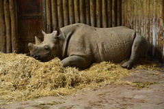 Chester Zoo (228) (rs1979) Tags: chesterzoo zoo chester blackrhino rhino