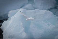 Ivory gull over ice (Elvar H) Tags: arcticocean helmerhansen pagophilaeburnea siarctic ice iceedge ismåke ísmáfur