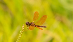 7K8A9779 (rpealit) Tags: scenery wildlife nature sparta mountain management area ryker lake male amberwing dragonfly