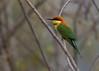 Chestnut-headed Bee-eater (Merops leschenaulti) (stuartreeds) Tags: chestnutheadedbeeeater corbettnationalpark india colourful bird beeeater sunrays5