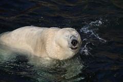 Refrfrfrfrfreshing (unnamedcrewmember) Tags: zoo hannover erlebniszoo eisbr wasser water swimming schwimmt cold closed eyes zukneifen