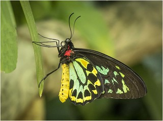 Birdwing Butterfly (m)