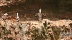 Piqueros en El Fronton - 1275 (Marcos GP) Tags: marcosgp callao peru lima isla el fronton natura mar sea marina