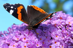 Red Admiral (jdathebowler Thanks for 965,000+ views.) Tags: vanessaatalanta redadmiral nature butterfly insect naturemasterclass