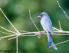 AshyDrongo (VagrantWings @ Shalini Singh) Tags: ashydrongo bird shalinisingh tilwari vagrantwings