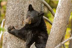 Mom said (ChicagoBob46) Tags: blackbear cub yellowstone yellowstonenationalpark nature wildlife