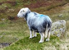 Herwick Ewe Above The Wrynose Pass (Dugswell2) Tags: herdwick ewe wrynosepass