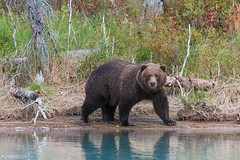 A big one - Lake Clark National Park (Captures.ch) Tags: 2016 alaska animal black blue brown brownbear crescent crescentlake fall gras gray grizzly grizzlybear highadventureaircharter kenai lake lakeclarknationalpark lookbacklakeclarknationalpark mosquitos nationalpark nature orange red september soldotna travel trees usa violet water white