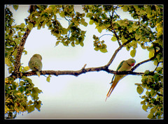 groer Alexandersittich (karin_b1966) Tags: baum tree bltter leaves tier animal vogel bird schlossparkbiebrichwiesbaden natur nature 2016 groseralexandersittich yourbestoftoday