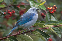 Thraupis episcopus (Blue-gray Tanager / Azulejo) (PriscillaBurcher) Tags: avesdecolombia birdsofcolombia avesdeantioquia thraupisepiscopus azulejo bluegreytanagertanagertangara thraupidae l1240406 ngc npc