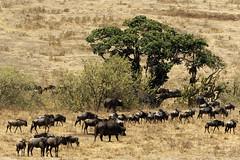 Herd migration (Nicolas Bousquet) Tags: tanzania tanzanie gnu buffalo ngorongoro gamedrive safari savana savane 55300 k3