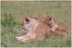 Playing with mom ..... (Martha de Jong-Lantink) Tags: 2011 janvermeer kenia kenya leeuw leeuwen maasaimara safari lion lions cub