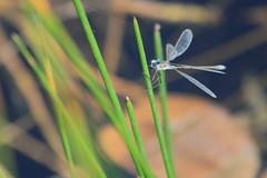 Blue-tailed damselfly 4 (Jo Rawson!) Tags: damselflies pottericcarr yorkshire yorkshirewildlifetrust nature pottericcarrnaturereserve