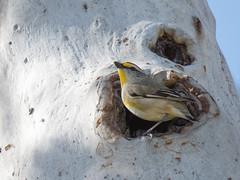 Striated Pardalote (CedricBear) Tags: birds pardalote harrison australiancapitalterritory australia au